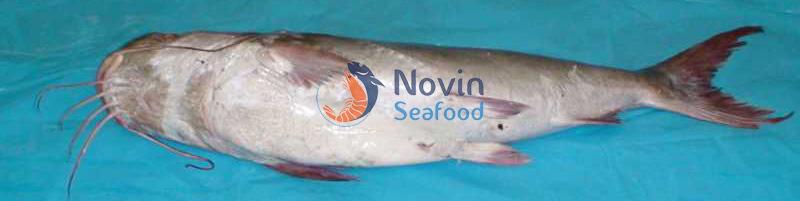 Iranian fish | catfish